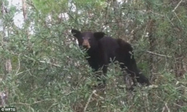 Problem: Feeding bears results in bears losing their fear of people. After they get used to living around humans and getting food from them, relocating them does not solve the problem