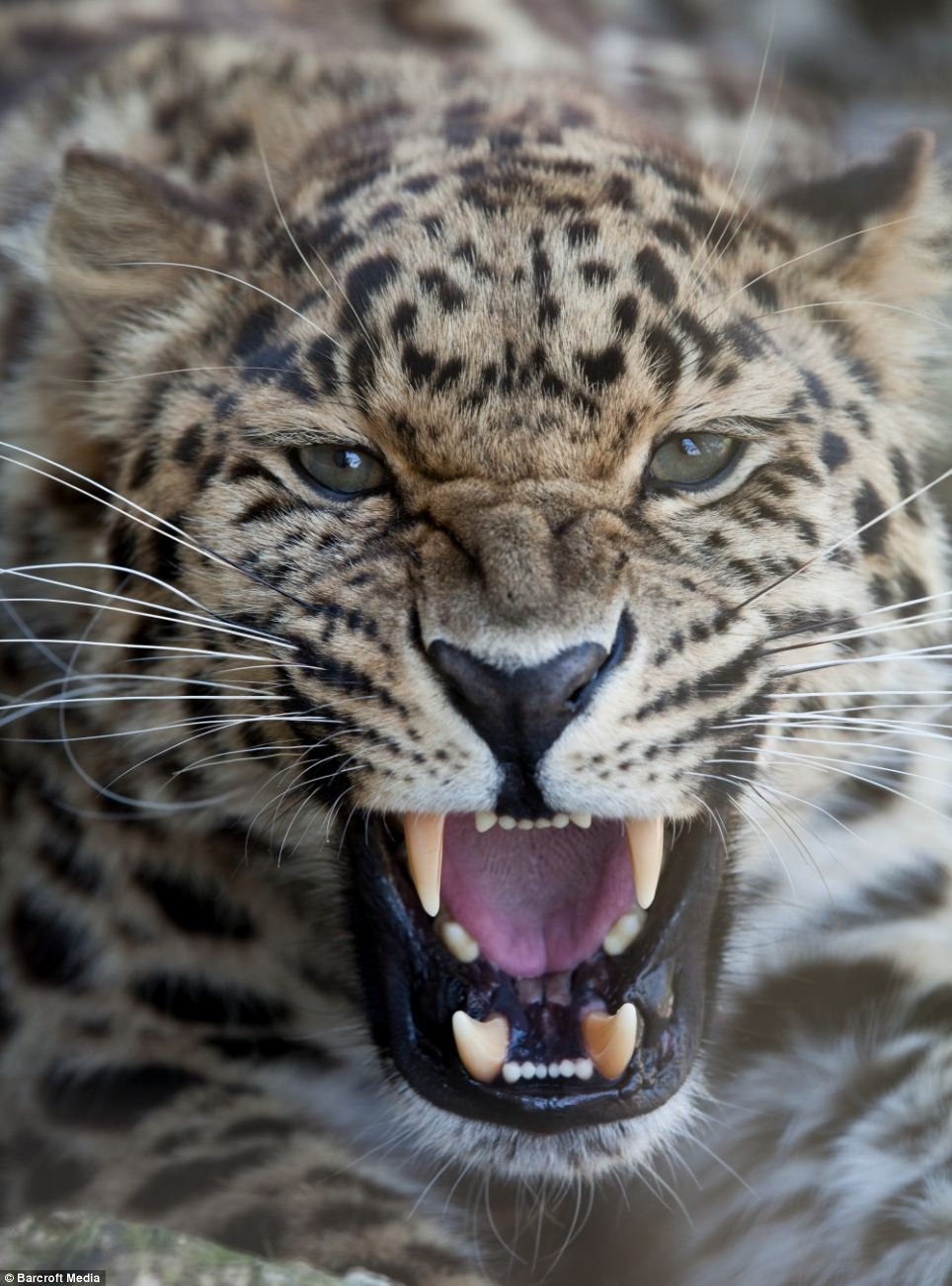 Close-up: An Amur Leopard is captured bearing its teeth by photographer Jason Brown