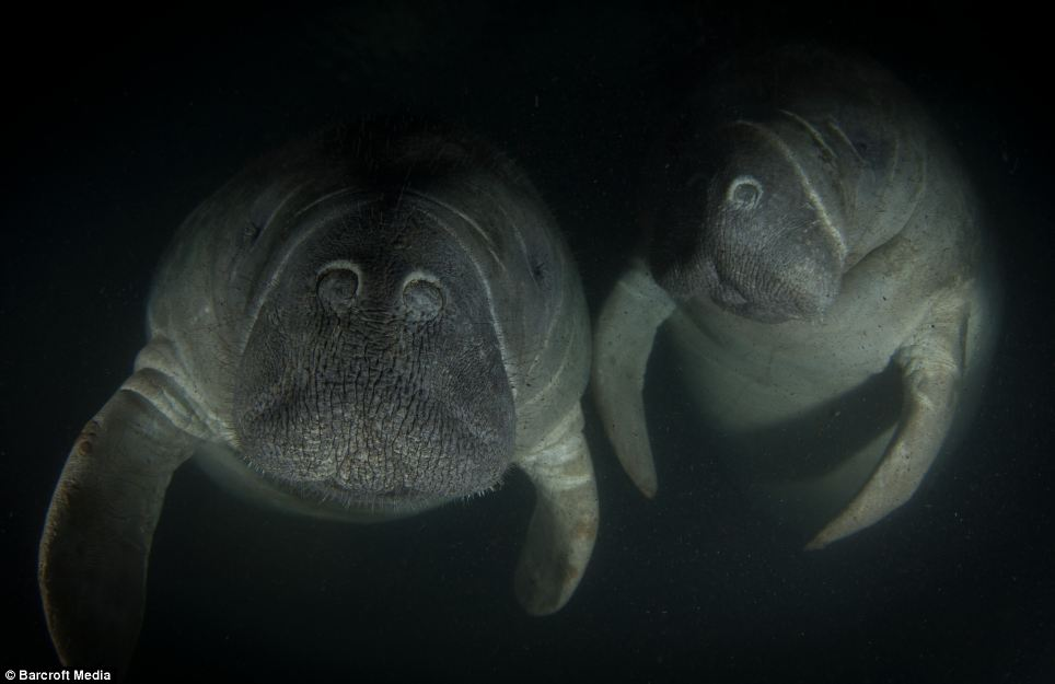 Two manatees as they emerge from the dark waters of a Floridian river, snapped by Ibrahim Roushdl