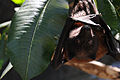 A Mariana fruit bat named Babydoll hangs from a tree at the Guam National Wildlife Refuge in Guam May 20, 2013 130520-F-XN788-246.jpg