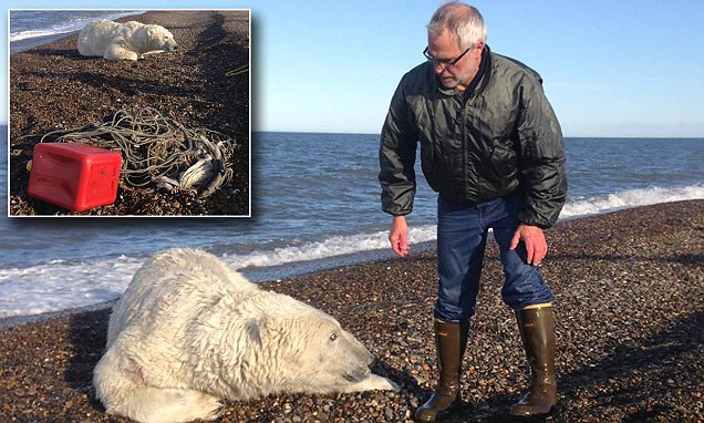 How do you rescue a 1,000 pound polar bear caught in a fishing line? (unsurprisingly, the