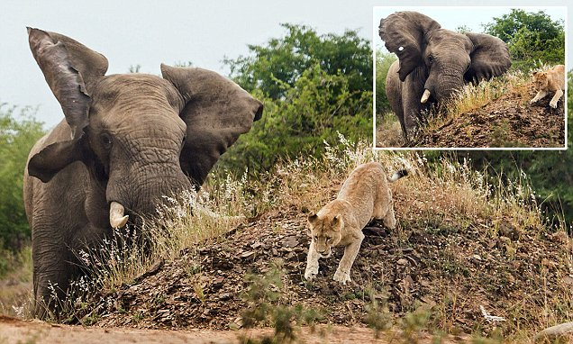 Pick on someone your own size! Terrified lioness gets the fright of her life after being