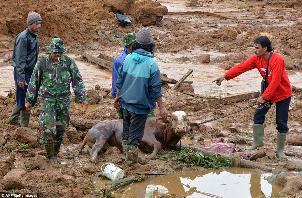 A rescue team carry away a cow after a landslide at Jemblung village in Banjarnegara. Rescue efforts were hampered by a lack of heavy equipment and were forced to use their bare hands and makeshift tools