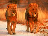 2 lions also on road (300 dpi).jpg Iain Scott