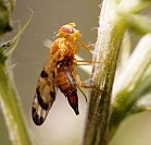 Frankenflies that can protect crops