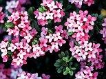EBKF0M garland flower (Daphne cneorum), blooming plants