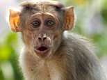 RHESUS MONKEY (Bonnet Macaque) are found in plenty on this small Island of Elephanta (Gharapuri), which is near Bombay shore and approachable by boat from Gateway of India, Apollo Bunder, Mumbai, Maharashtra, India, Asia. DPA-AHP-136 -