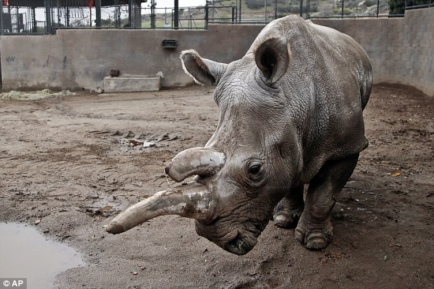 Nola (pictured in December last year), a popular white rhinoceros has been euthanized at San Diego Zoo Safari Park after a series of illnesses