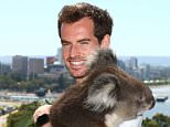 PERTH, AUSTRALIA - DECEMBER 31:  Andy Murray of Great Britain poses with Sunshine the Koala at Kings Park on December 31, 2015 in Perth, Australia.  (Photo by Paul Kane/Getty Images)