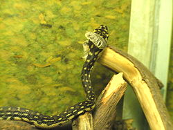 Diamond-python moult eye-scales.JPG