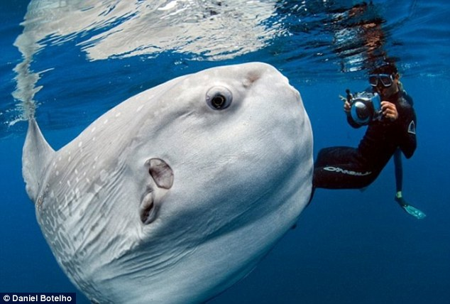 Close encounter: Photojournalist Daniel Botelho came across the moon-shaped Mola mola while snapping pictures of blue whales off San Diego