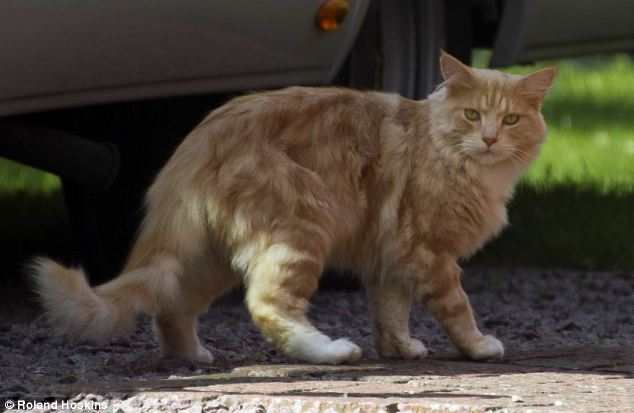 Teddy Bear: The lion on the loose turned out to be domestic cat Teddy Bear