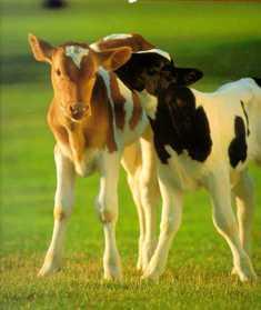 calves:
