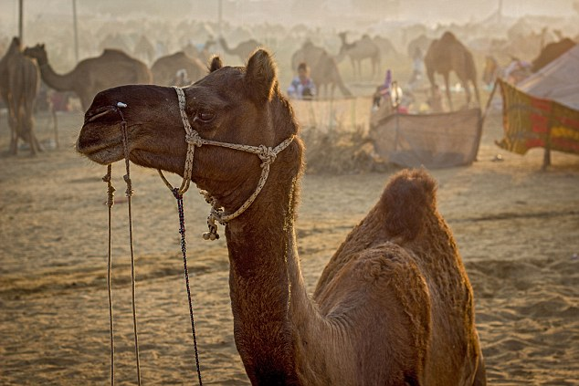 Disgusted: His claim that women couldn't even say no if they were on a camel has horrified many in the mainly Muslim country, where an estimated 3,000 women a year are raped