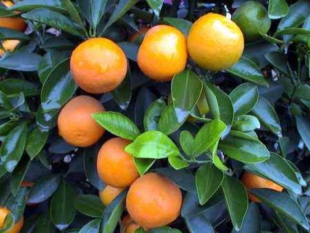 my kumquats.jpg: