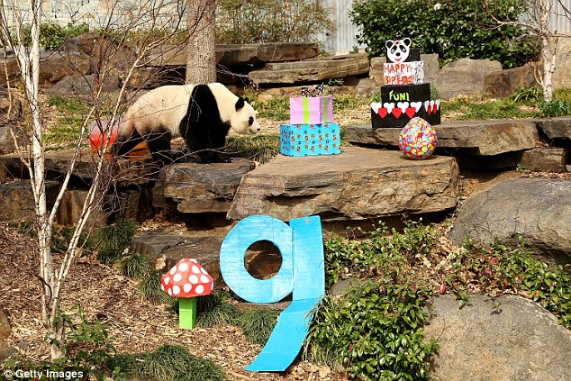 Giant pandas are endangered, and are in the World Conservation Union's Red List of Threatened Species