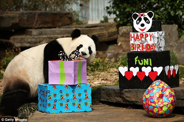 Happy Birthday! Fun! Fu Ni sniffed at her huge toy presents, which had her favourite treats hidden inside