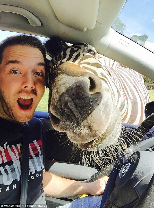 Stripe me: Student Malte Woestefeld, 24, is joined by a zebra at Germany's Holte-Stukenbrock zoo