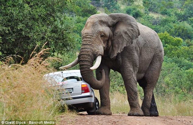 Trunk-to-trunk: Sexually charged bull elephant shows the wildlife enthusiasts in the car who's boss
