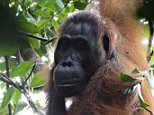 Researchers have for the first time witnessed the death of a female orangutan at the hands of another female. Even more extraordinary is that the perpetrator recruited a male orangutan as a hired gun to help her corner and attack the victim. Before this observation, lethal fights between females had never been observed in orangutans; in other primates such fights occur mainly between males, according to Anna Marzec of the University of Zurich in Switzerland. She is the lead author of a report on the fatal incident, which appears in Springer's journal Behavioral Ecology and Sociobiology.  Aggression serves ultimately to gain access to limited resources. Although aggression among primates is frequent, lethal attacks are very rare, especially among female individuals. Female Bornean orangutans live alone and typically settle in or near the area where they were born, whereas males generally disperse. The two sexes regularly associate only during the few months before a female orangutan is