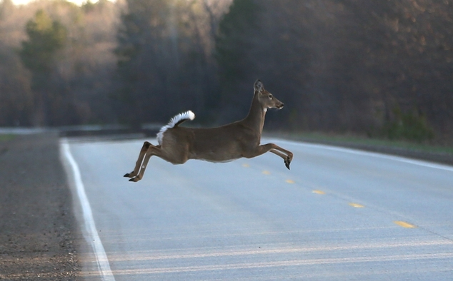 A deer runs across the road, Wednesday, May 6, 2015 in Kinross Charter Township, Mich. Harsh winters the past few years have decimated deer herds across the ...