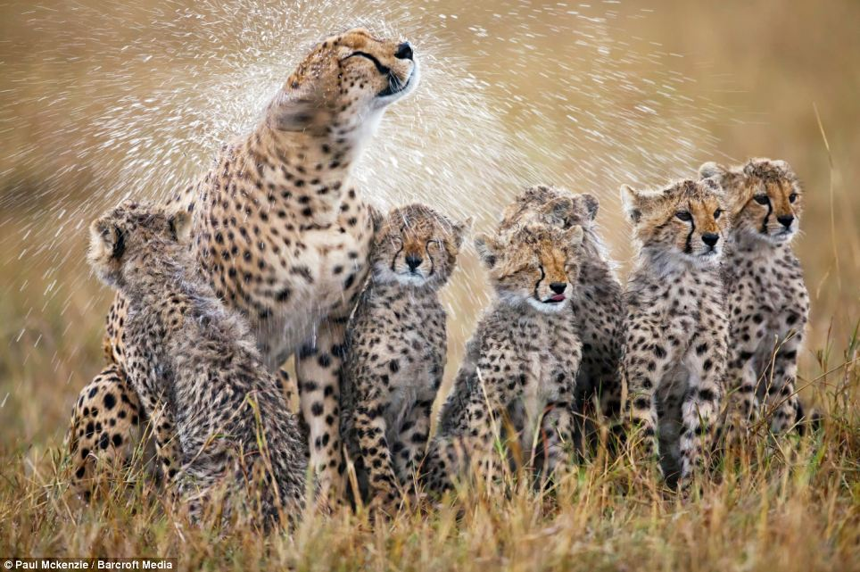 Shower time: A cheetah mother shakes the rain off her fur after a rain shower and in process soaks her six cubs in Masai Mara, Kenya