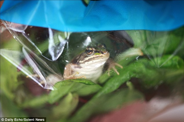 The frog was found in a bag of mixed leaf salad bought from a branch of Waitrose in Southampton