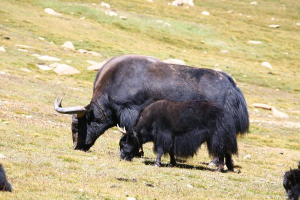 [Image: yak%20cow%20and%20calf%201302850000061_zpssy14u9dj.jpg]
