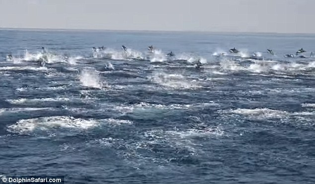 What a sight: A 'dolphin stampede'shows what happens when hundreds, sometimes thousands, of dolphins decide as a group to rush wildly across the ocean¿s surface, as if in a panic