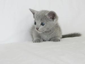Russian blue cat kitten