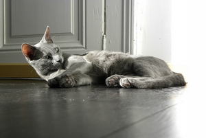 Pair of russian blue