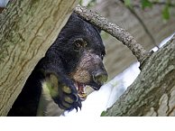 Louisiana black bear, inspiration for the teddy bear, removed from endangered list