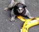 banana sagui