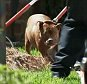 pit_bull_death_0004_Layer 4.jpg  Dog maul death  CHARLOTTE, NC ? Police are working to find out if a deadly dog attack in South Charlotte could have been prevented.  CMPD says two pit bulls killed 86-year-old Bessie Flowers inside a town home on Luke Crossing Ln. in the Springs Village community.  Animal Control seized two pit bulls after the attack.  One neighbor, who didn?t want to release his name, was unraveled learning how CMPD says the woman died.  ?I constantly tell people they?re going to kill someone!? said the man. ?There?s been two incidents with those dogs. They attack other dogs here. No one has done anything about it.?  CMPD Animal Control tells me officers responded to one complaint of two aggressive three years ago.  Officers say they didn?t do anything because the call was unsubstantiated.  WCCB Charlotte checked the Springs Village bylaws.They don?t say anything about the type of dogs residents can have but does say you have to report all complaints to CMPD Animal Co