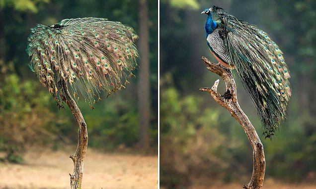 How this 'shrub' is really a peacock perched on a weathered old trunk