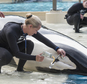 In this undated photo provided by SeaWorld, San Diego, shows whale trainer Kristi Burtis as she obtains a milk sample from Kalia, an orca whale. There's one last orca birth to come at SeaWorld, and it probably will be the last chance for a research biologist to study up close how female killer whales pass toxins to their calves through their milk. SeaWorld's decision to end its orca breeding and to phase out by 2019 its theatrical killer whale performances, the foundation of its brand, followed years of public protests. (Mike Aguilera, SeaWorld San Diego via AP)