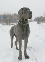 Dog błękitny