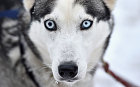 A husky waits for practice with its sledder