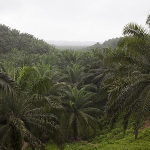 View of the PT Hardaya Inti Plantations oil palm concession in Buol (Photo: Pietro Paolini/Terra Project)