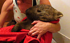 Old and frail wombat is rescued