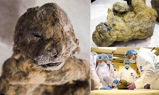 Frozen in time: Cave lions crushed to death in Siberia were perfectly preserved in ice for