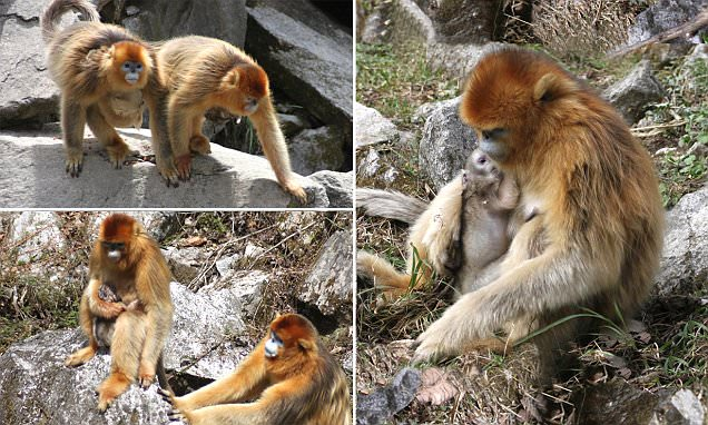 Scientists capture incredible moment primates help their companion give birth