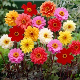 Bishop Dahlias Mixed