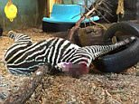 """Pic shows: The beheaded zebra that Zoo visitor posted online.\\n\\nShocking images of a beheaded zebra being fed to a tiger by zoo keepers in southern Norway have provoked fury among animal lovers.\\n\\nOfficials at Kristiansand Zoo have admitted that the healthy zebra was killed simply because they had too many of them.\\n\\nThe row started when one mum posted a snap of the butchered zebra on Facebook with the caption: """"Should take a look at the tigers today. What met me was a little macabre.""""\\n\\nAngry parents taking young children to see their favourite animals on the day condemned the spectacle as """"traumatic.""""\\n\\nThe blood-stained carcass had been left in the part of the tiger enclosure that can be viewed by the public.\\n\\nOne protestor online said: """"A little too macabre for me. Animals eat animals, but I didn't think I'd see that at the zoo.""""\\n\\nAnother said: """"Horrid. Traumatic for young children.""""\\n\\nLeading child psychologist Mange Raundalen later condemned the display"""