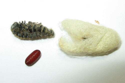 Lespesia's puparium and the Eastern tent caterpillar cocoon from which it emerged © Stephen Luk