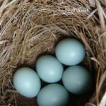 Eastern Bluebirds (Sialia Sialis) eggs