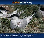 ARKive species - Sandwich tern (Sterna sandvicensis)