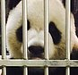 In this photo made available by the Taipei Zoo on May 18, 11 year old panda from China named Tuan Tuan is seen sitting upright his cage behind recent local newspaper front pages at the Taipei Zoo, in Taipei, Taiwan. The photo of Tuan Tuan alive and with the newspapers was accompanied by a statement from zoo director Chin Shih-chien saying that Tuan Tuan, his partner Yuan Yuan and their cub Yuan Zai are all fine, despite rumors first appearing on Chinese websites that Tuan Tuan had died. (Taipei Zoo via AP) MANDATORY CREDIT