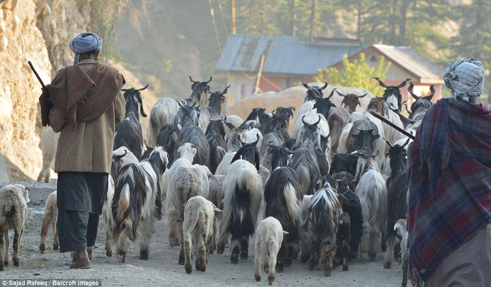 Bakarwals following the herd while moving from Jammu to Kashmir. The word Gujjar is derived from the term gaucharana, meaning to graze cows