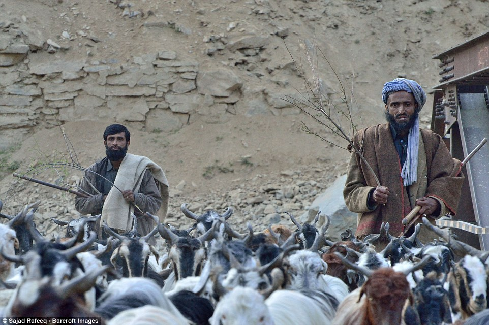Bakarwals following the herd while moving from Jammu to Kashmir. The Gujjar-Bakarwals claim a common ancestry from the ancient Gujjar tribe of India